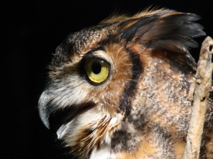 horned-owl-by-mike-wilkinson