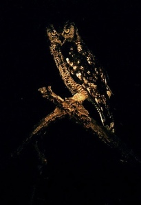 owl-in-the-night-by-dave-hicks
