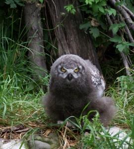 snowy-owlet-by-t-filewich