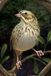 thornspell bird