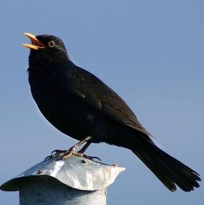 singing male blackbird by Malene Thyssen