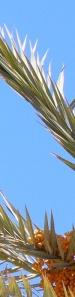date palm 1