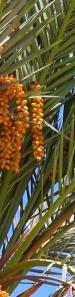 date palm 6