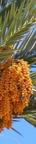 date palm 8